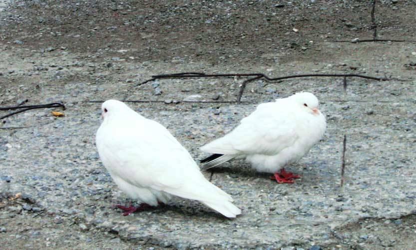 Как правильно выпускать голубей на свадьбе :: семья :: для женщин :: все о детях