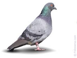 Традиция выпускать голубей на свадьбе