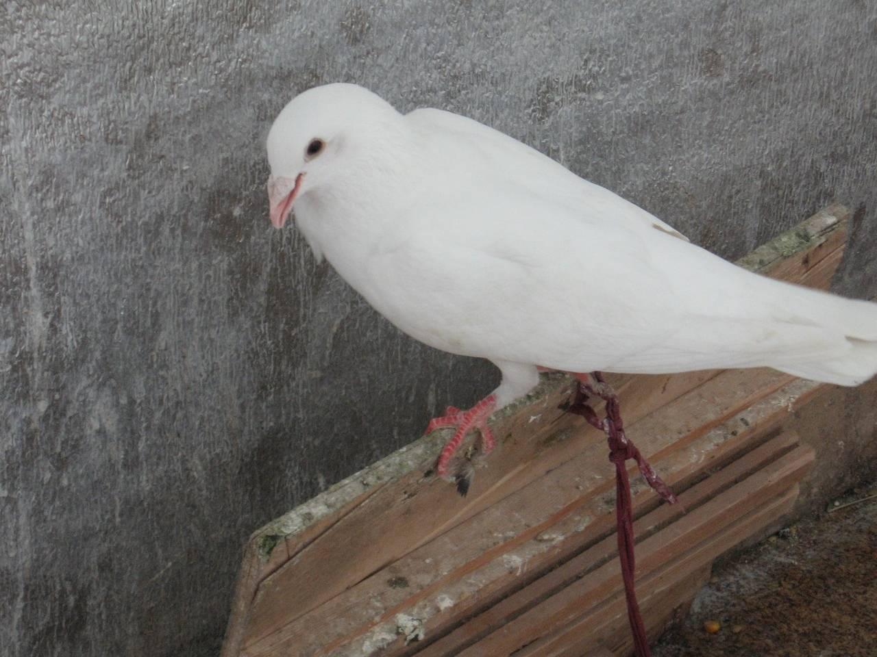 Предсказываем семейную жизнь по полету свадебных голубей