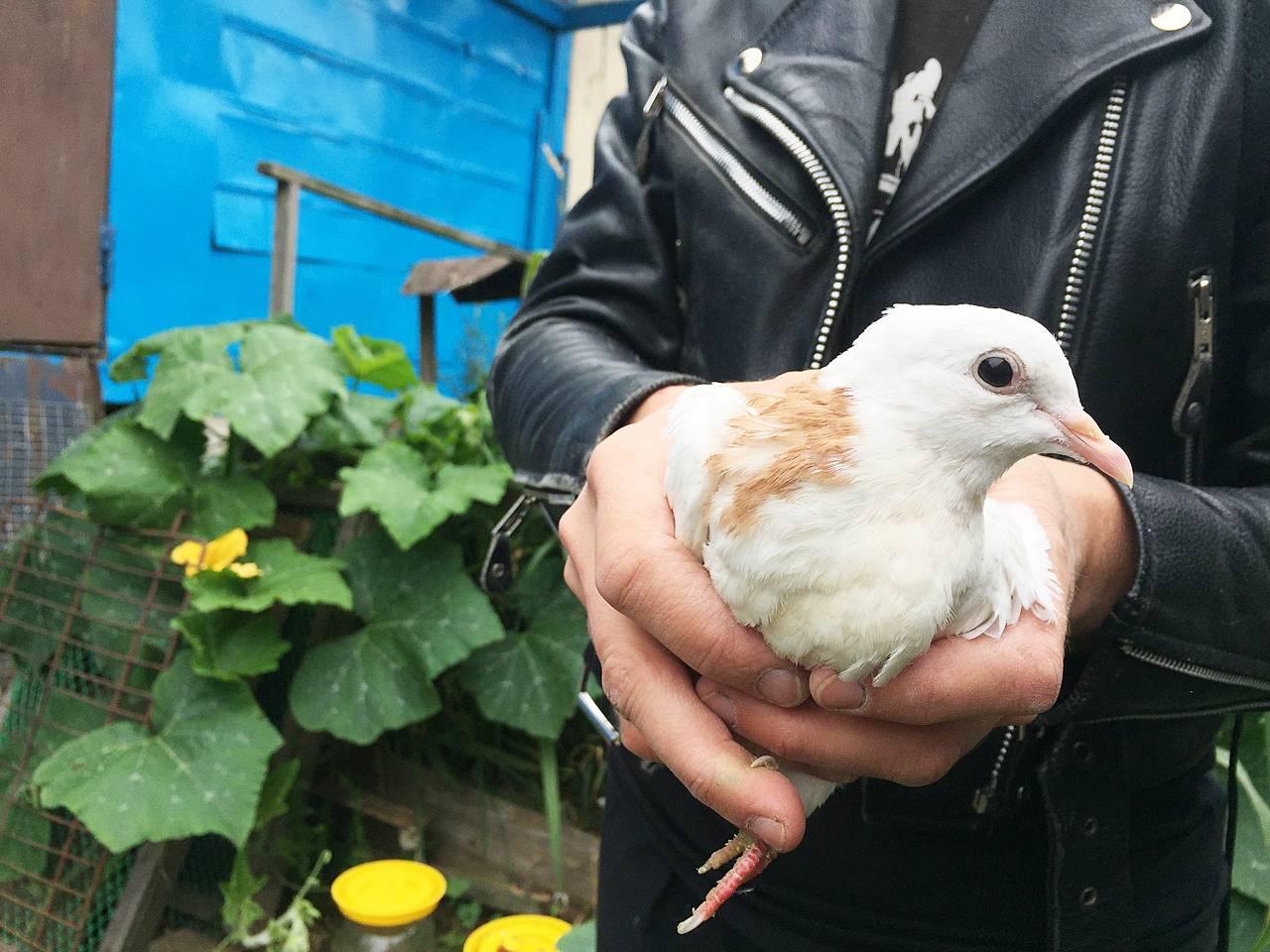 Голуби на свадьбу (29 фото): символом чего являются летящие белые свадебные птицы? откуда появилась традиция выпускать голубей?