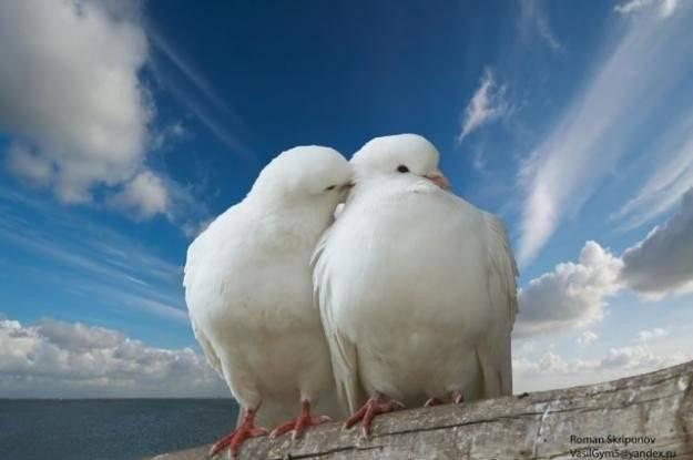 Голуби на свадьбе – вестники любви и верности