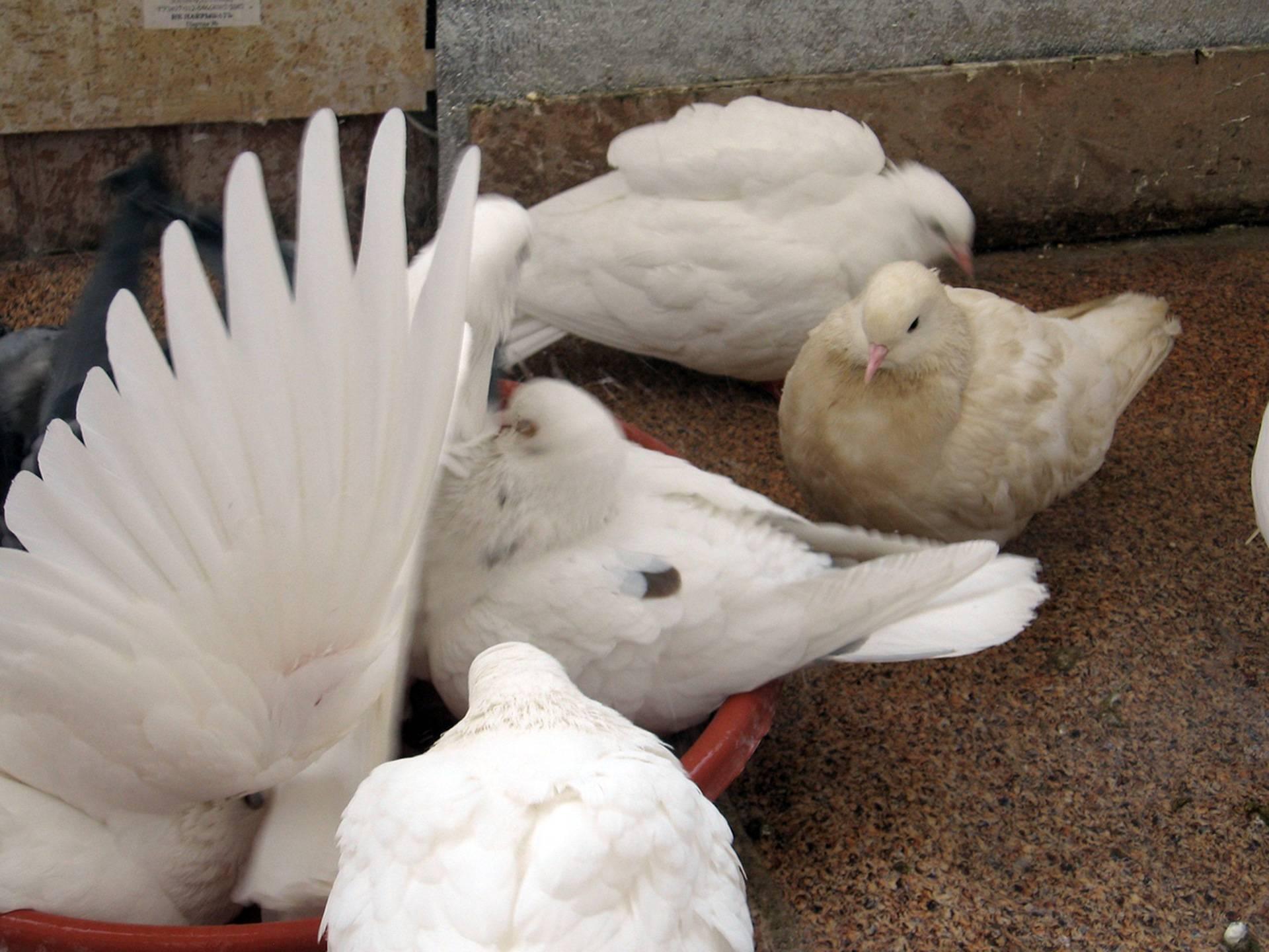Традиция выпускать голубей на свадьбе - свадебный портал wewed.ru